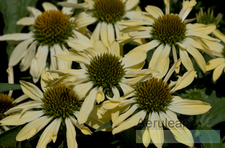 Echinacea big sky yellow