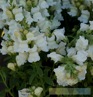 Antirrhinum snapdragon sultan white 2