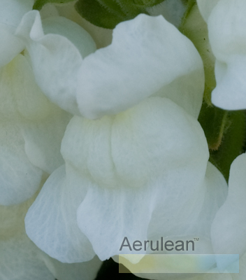 Antirrhinum snapdragon sultan white 3