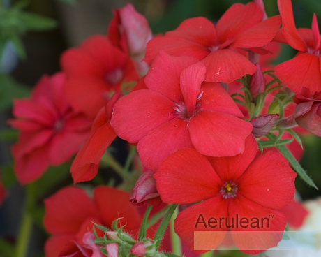 Phlox diamond mix 7 2