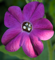 Nicotiana deep purple 4