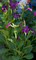 Nicotiana deep purple 5