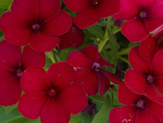Phlox diamond mix 4