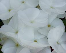 Phlox diamond mix 5