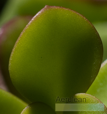 Portulacaria afra red stem 2 2