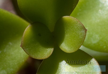 Portulacaria afra red stem 2