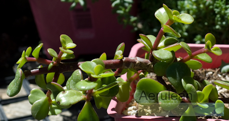 Portulacaria afra red stem