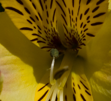 Alstroemeria yellow friendship 2