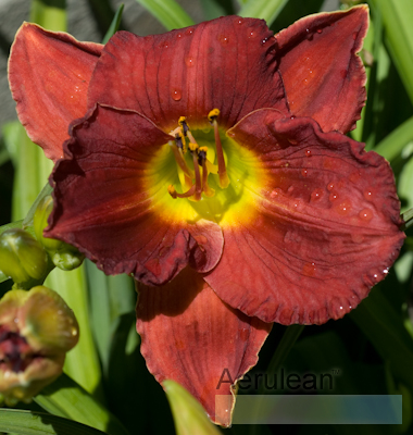 Hemerocallis scarlet orbit 4 3
