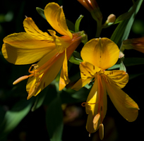 Alstroemeria sussex gold