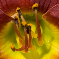 Hemerocallis scarlet orbit 4