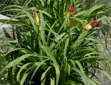 Hemerocallis scarlet orbit