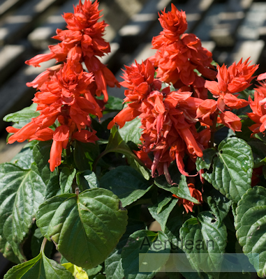 Salvia red hot sally