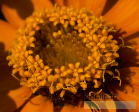 Zinnia profusion orange 2