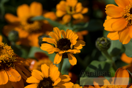 Zinnia profusion orange 4