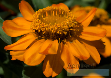 Zinnia profusion orange 6