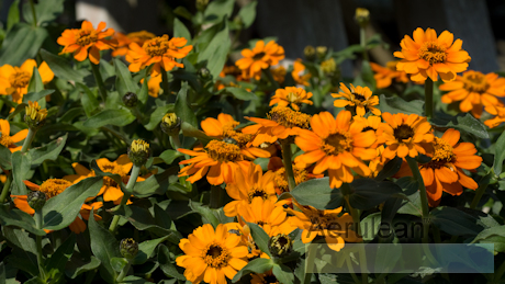 Zinnia profusion orange