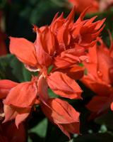 Salvia red hot sally 2