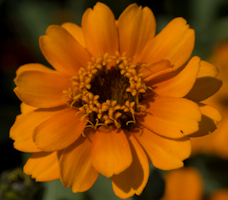 Zinnia profusion orange 3