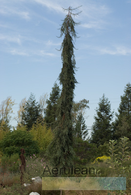 Sequoia sempervirens loma prieta spire   mixed   4