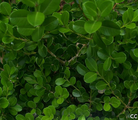 Buxus microphylla 10