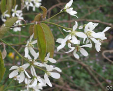 Amelanchier canadensis 2