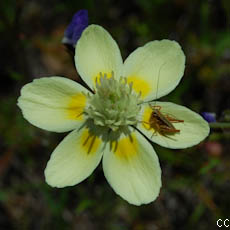 Platystemon californicus 2