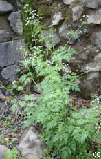 Anthriscus sylvestris 4