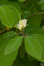 Lonicera xylosteum 3