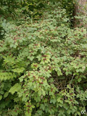 Lonicera xylosteum 4