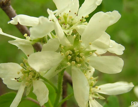 Amelanchier canadensis 9