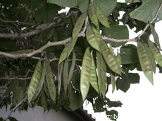 Cercis chinensis 3