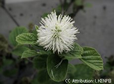 Fothergilla major 2