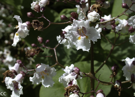 Catalpa x erubescens