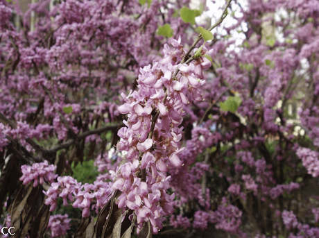 Cercis chinensis 2