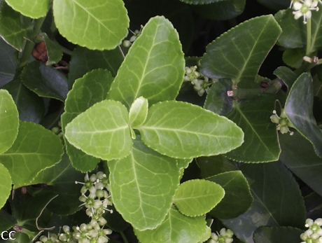 Euonymus japonicus 3