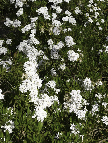 Iberis semperflorens