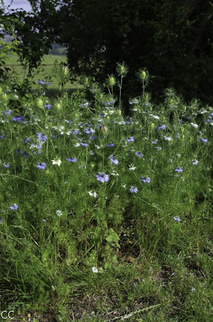 Nigella damascena 2