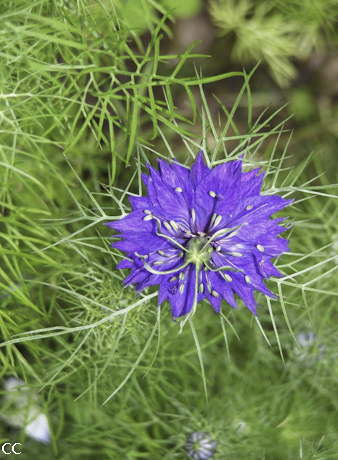 Nigella damascena 3