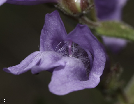 Penstemon fruticosus 2