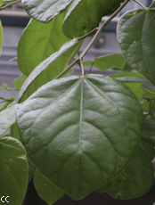 Cercis chinensis 4