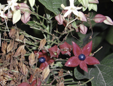 Clerodendrum trichotomum 4