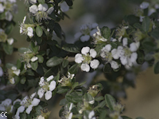 Cotoneaster microphyllus 2