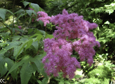 Filipendula purpurea 2