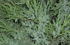 Juniperus chinensis 2