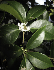 Osmanthus x fortunei 2
