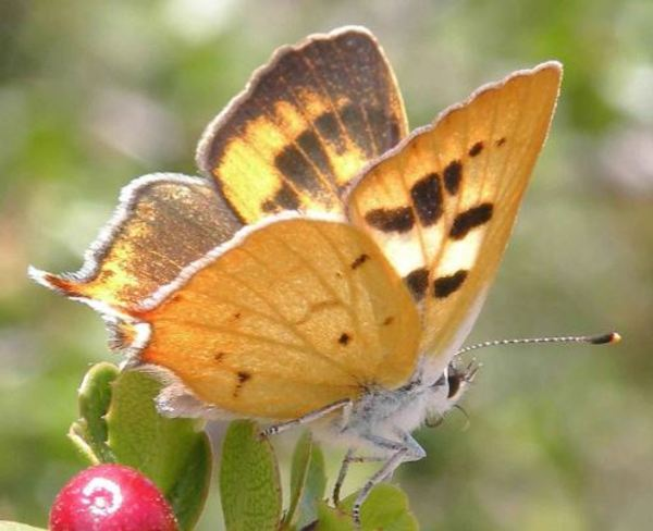 Lycaena hermes pd