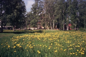Dandelions in tuira jun2008