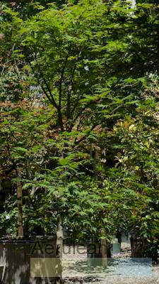 Acer Palmatum Kurabu Yama